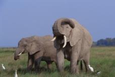 动物世界 大象 大象群 非洲图片