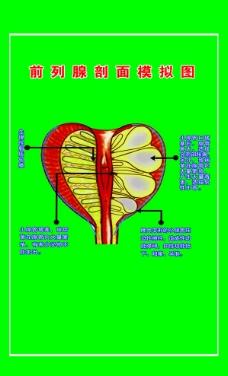 前列腺剖面模拟图 挂图图片
