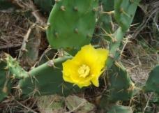 仙人掌花(黄)图片