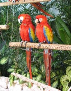 绯红金刚鹦鹉图片