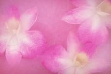 蚕丝兰花图片
