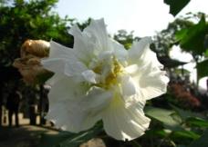 白芙蓉图片