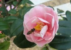 景山茶花和蜜蜂1图片