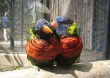 虹彩吸蜜鹦鹉图片