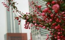 城市中的梅花图片