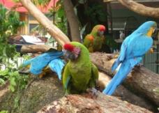 野生鹦鹉图片