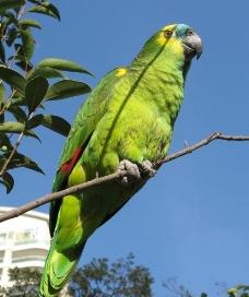 亚马逊杂交鹦鹉图片
