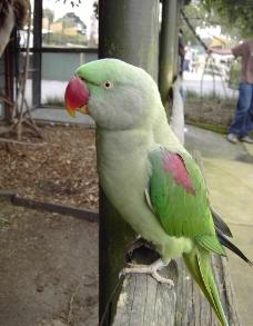 亚历山大鹦鹉图片