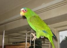亚马逊白额鹦鹉图片