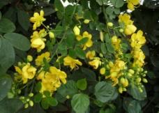 黄槐花图片