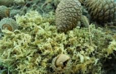 松柏 大自然的果实图片
