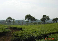 普洱茶 茶园 茶山 茶地 茶芽图片