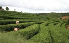 中国茶城 普洱茶 古茶树 茶园 茶山 采茶姑娘图片