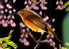 鸟 喜鹊 黄鹂 百灵鸟图片